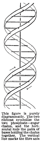 Odile and Francis Crick - structure of DNA